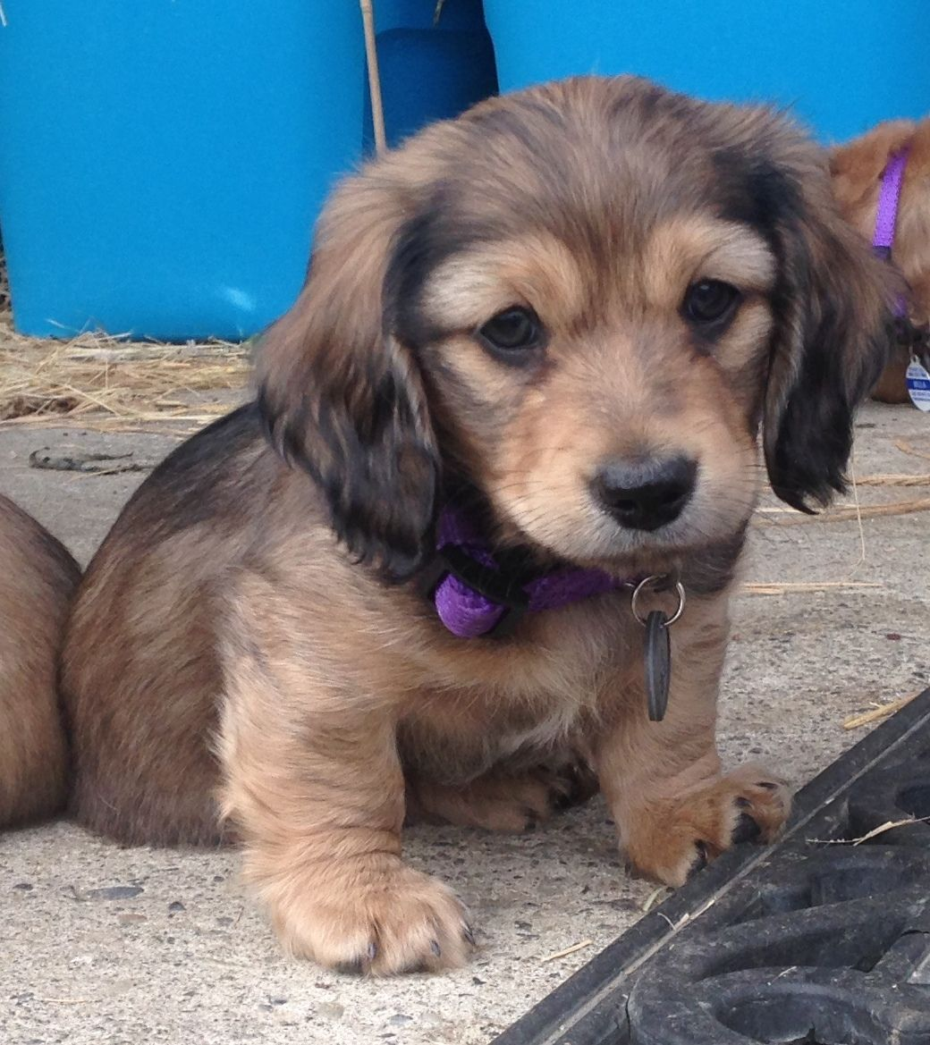 Benson Longhaired Shaded Cream Miniature Dachshund Dachshund