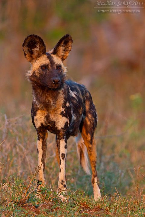 Afrikanischer Wildhund African Wild Dog Lycaon Pictus Animals Wild South African Animals Wild Dogs