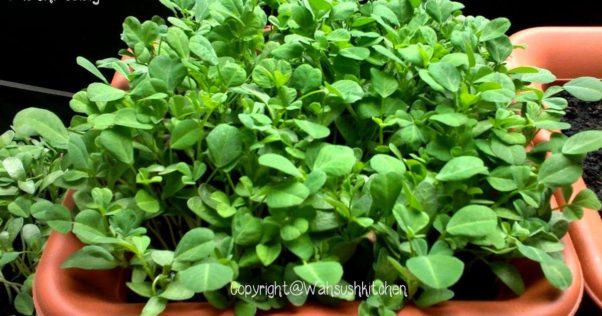 Growing Methi How To Grow Fenugreek Fenugreek Plant How To Grow Methi Easy Way To Grow Methi Home Vegetable Garden Plants Garden Seeds
