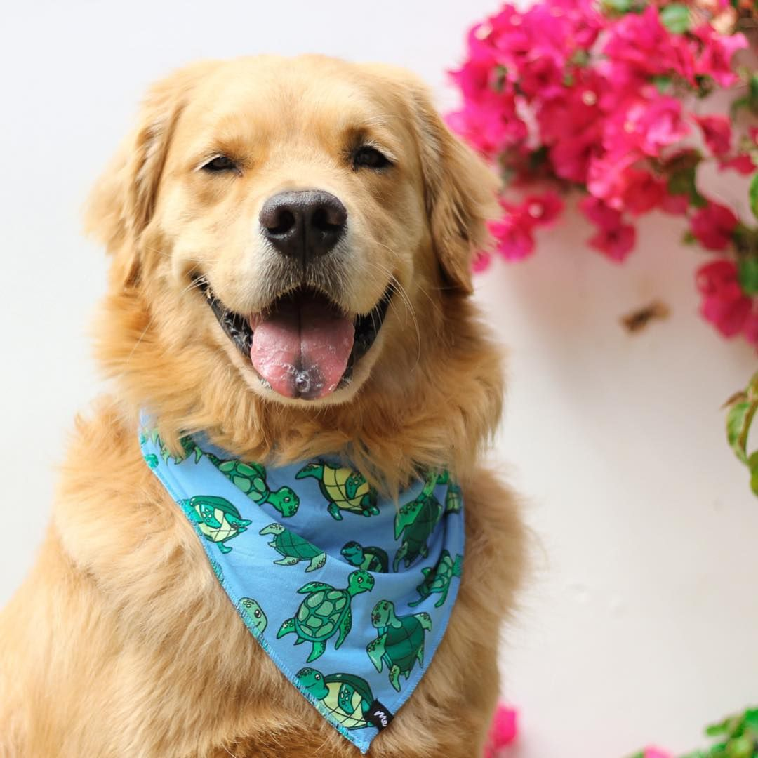 Louie The Golden Retriever On Instagram Happy Go Lucky