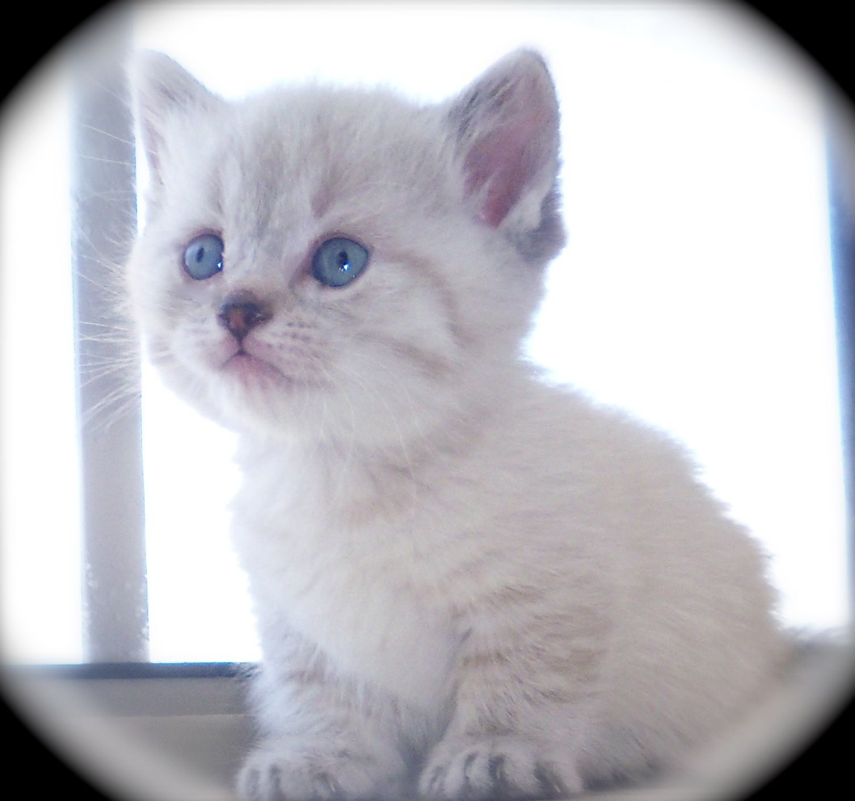 Nova Beautiful Blue Eyes Standard Blue Lynx Point Daughter