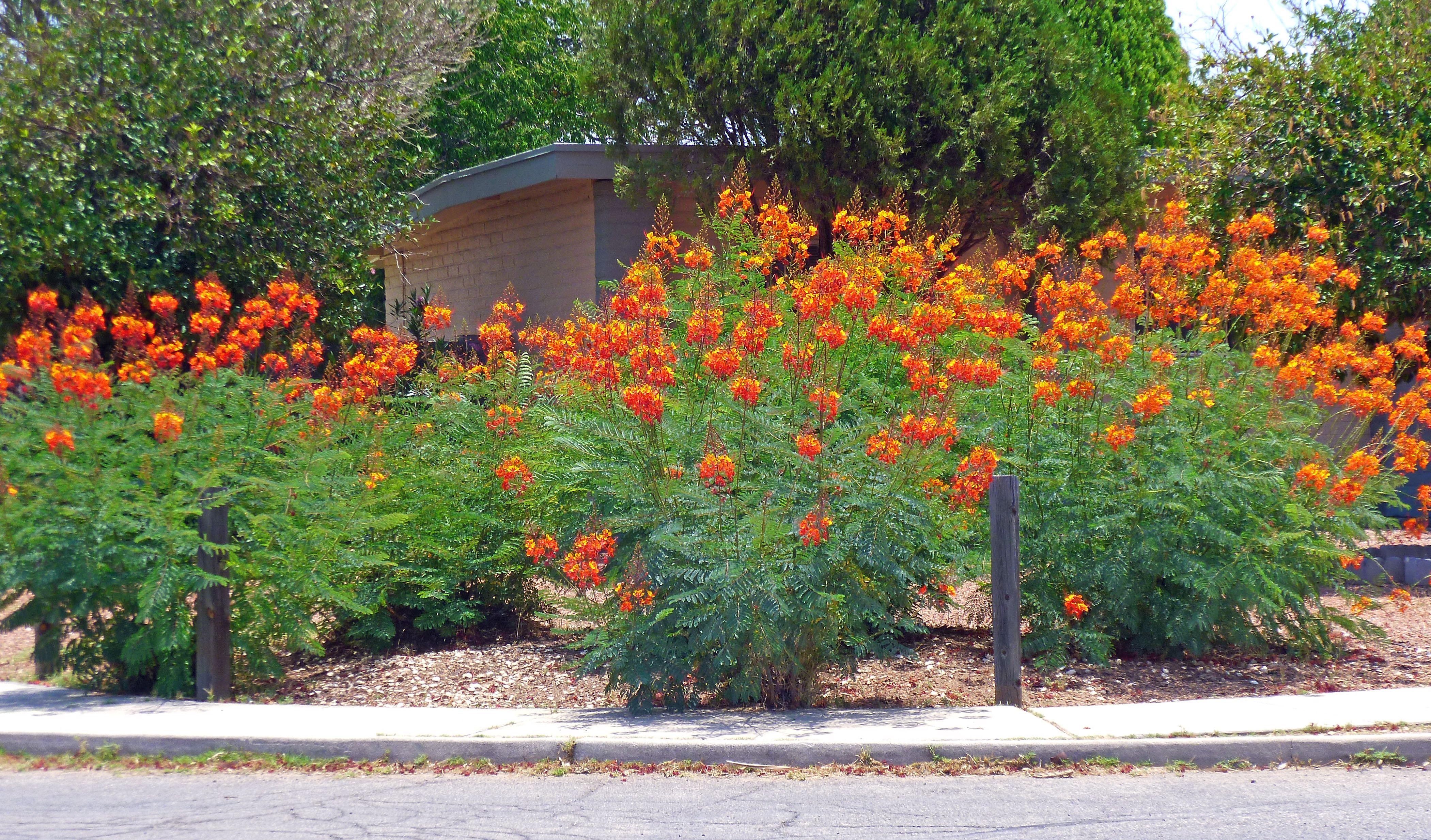 flowering desert shrubs Mexican Bird of Paradise | yard ...