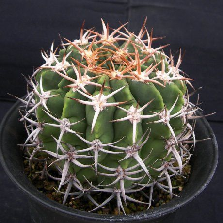 Gymnocalycium mostii ssp. ferocior Isuuzuen