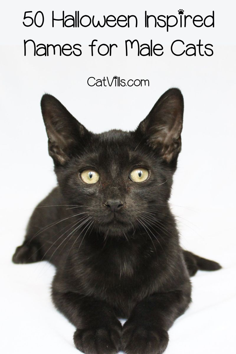 130 Halloween Inspired Cat Names For Male Female Kitties Catvills Cat Breeds Halloween Names For Cats Pets