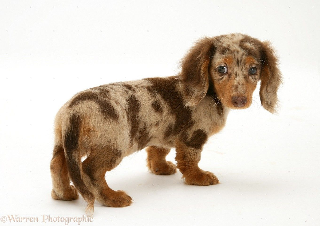Long Haired Dachshund Wp30768 Chocolate Dapple Miniature Long