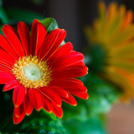 How To Care For Gerbera Daisies Inside Gerbera Daisy Gerbera Flower Care