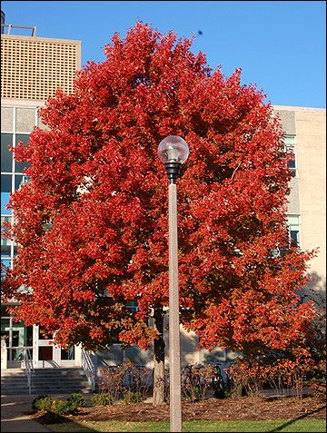 Red maple Outdoors Pinterest Plants