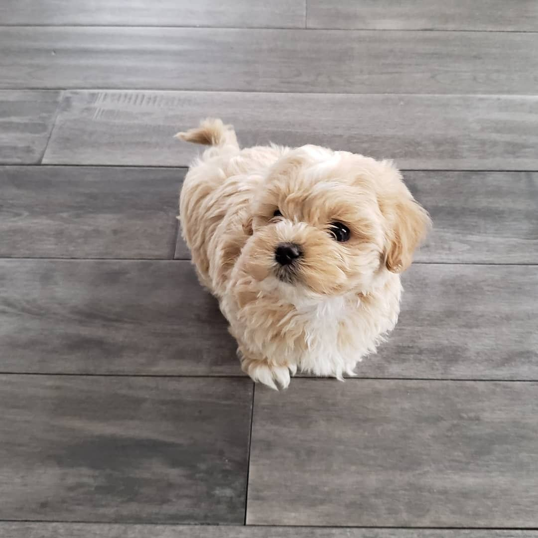 Maltipoo Maltipoo Maltipoo Puppy Cute Animals