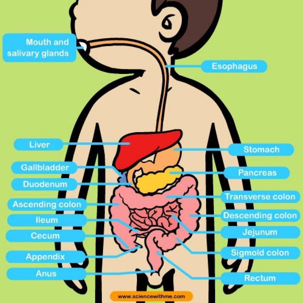 Human Anatomy Pictures For Kids Human Digestive System For