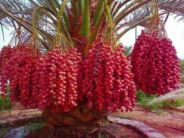 Dates Tree - Amazing fruit