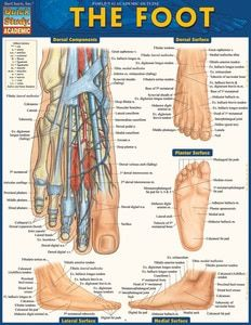 30+ QuickStudy   The Foot Laminated Study Guide