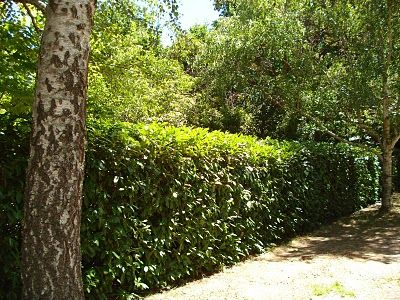 English Laurel Hedges Evergreen Partial To Full Sun Fast Growing To 12 Ft Tall 8 Ft Wide Larger If Untrimmed Can Laurel Hedge Hedges Evergreen Shrubs