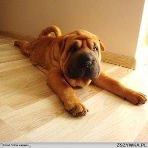 Simple Shar Pei Chubby Adorable Dog - 3208cf9f08f1ce305a0b5d637a73c5ce  Trends_51648  .jpg