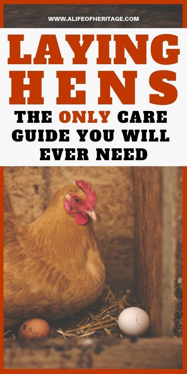 How to Sell Laying Hens and Make a Profit (+Complete Care ...