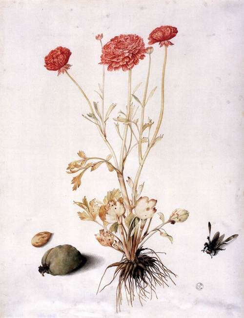 Ranunculus with Two Almonds and a Hymenopteran by Giovanna Garzoni (1600-1670). Tempera and traces of black pencil on vellum.  Galleria degli Uffizi, Florence.  http://www.wga.hu/frames-e.html?/html/g/garzoni/four2.html