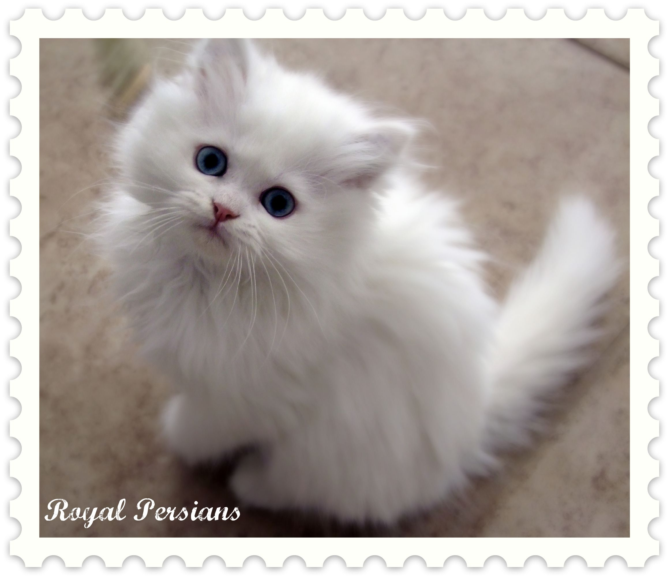 persian kittens | Blue Eyed White Persian Kittens for Sale FOR ...
