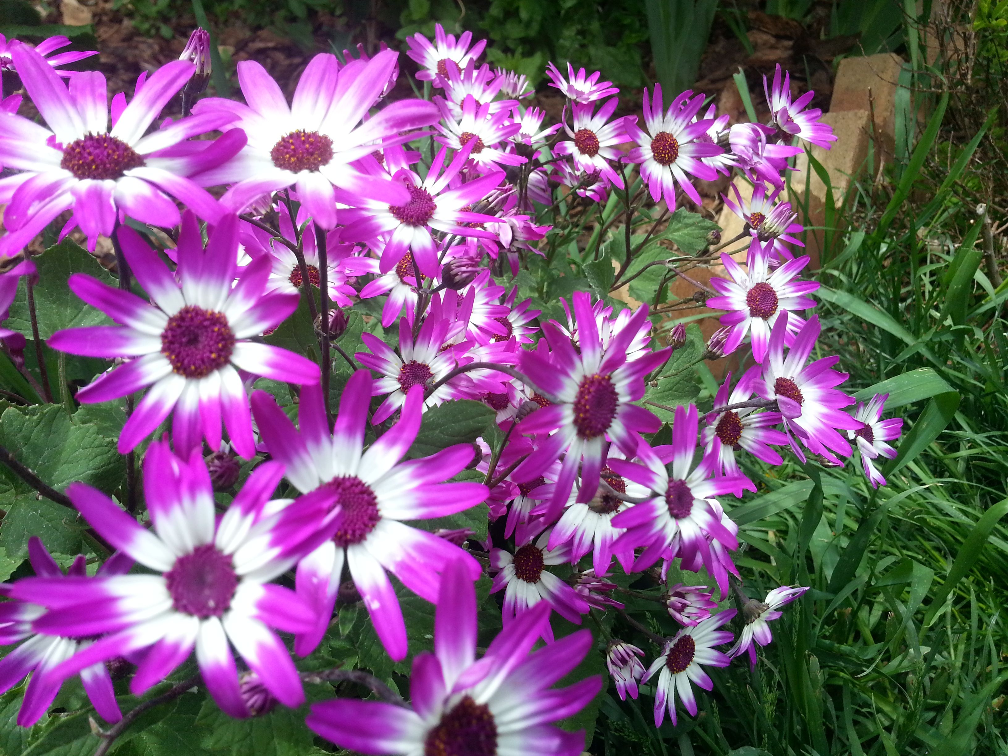 zenetti flowers that bloom inside or out at 35 degrees and twice a