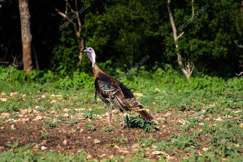 Vibrant Texas Turkey Standing Back Left - Stock Photo , #ad, #Turkey, #Texas, #Vibrant, #Standing #AD