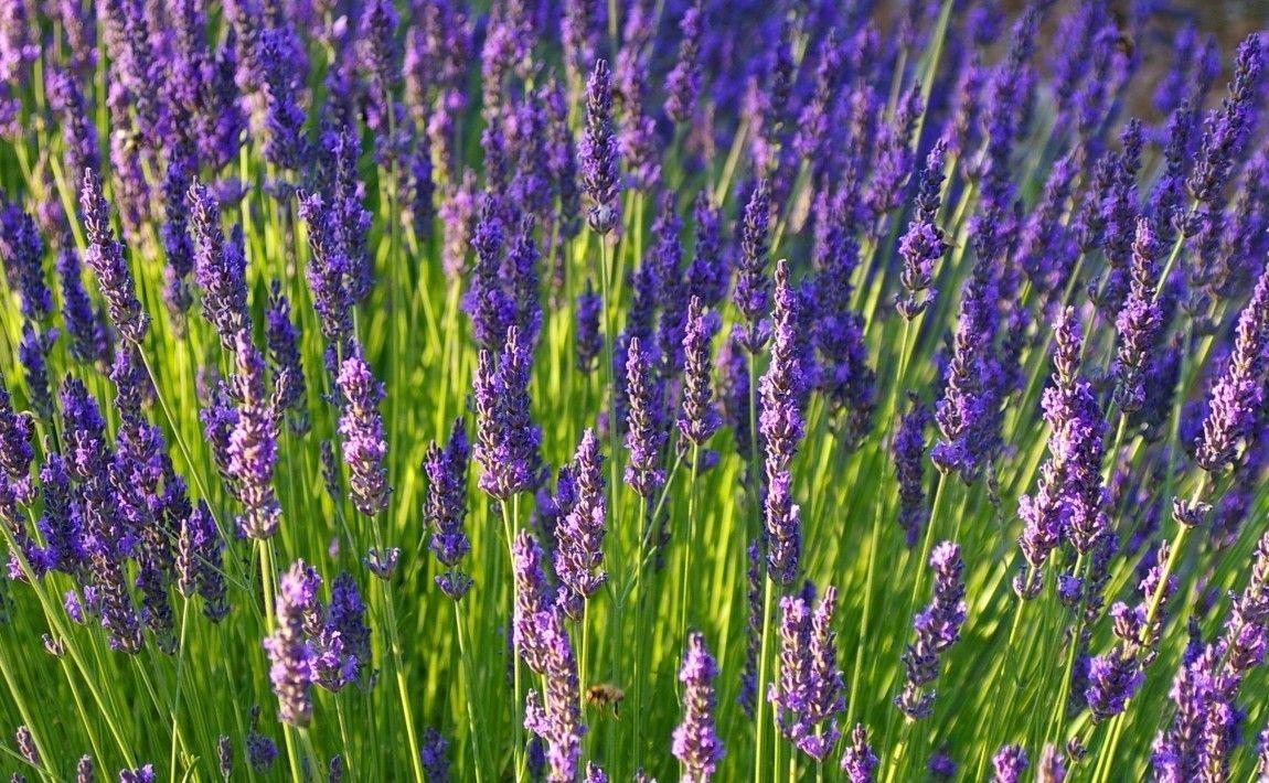 Lawenda W Ogrodzie I Doniczce Uprawa I Zastosowanie E Ogrodek Flowers Plants Verbena