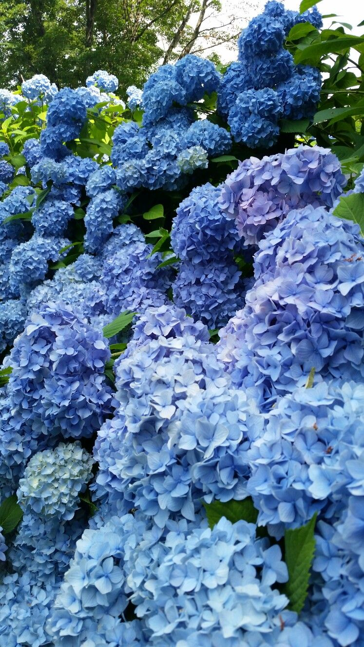 Hydrangea Heaven Beautiful Gardens Planting Flowers Growing Flowers