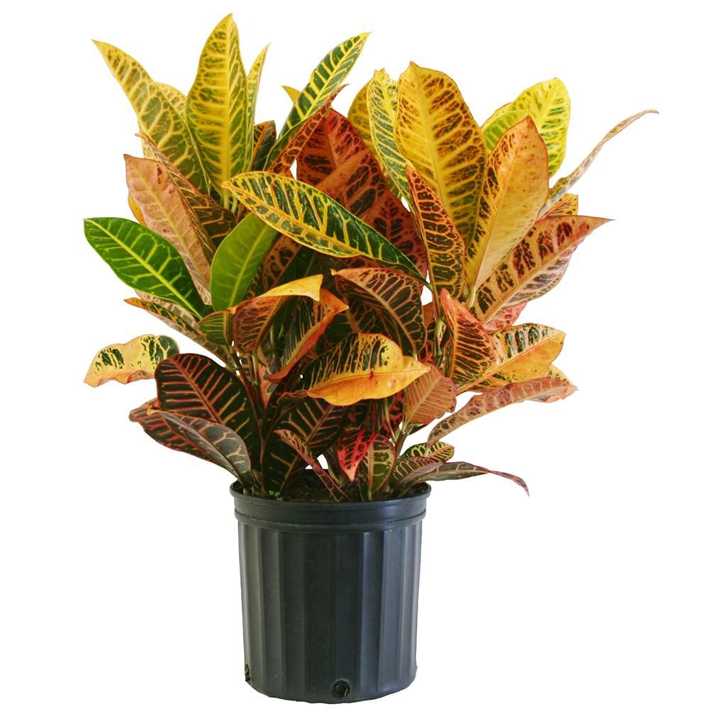Croton Petra In 8 3 4 In P*T Croton Plant Care House 640 x 480