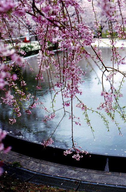 Spring Rain Spring Rain Blossom Trees Spring