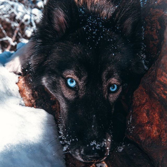 Such A Sweet Husky Face With Images Siberian Husky Blue Eyes Agouti Husky Cute Dogs And Puppies