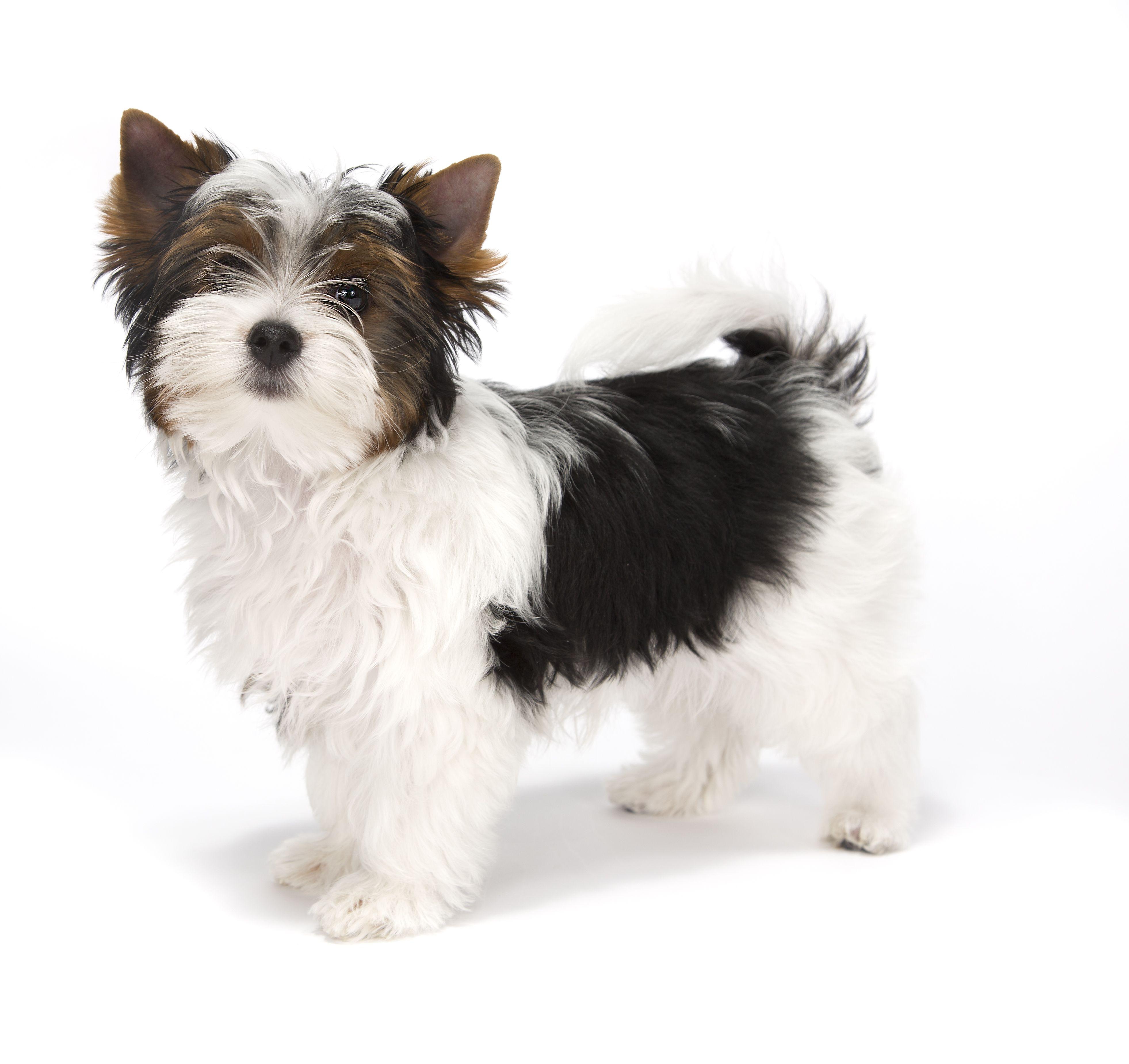My Harley As A Baby Biewer Terrier Cute Teacup Puppies Biewer Yorkie Yorkshire Terrier Puppies