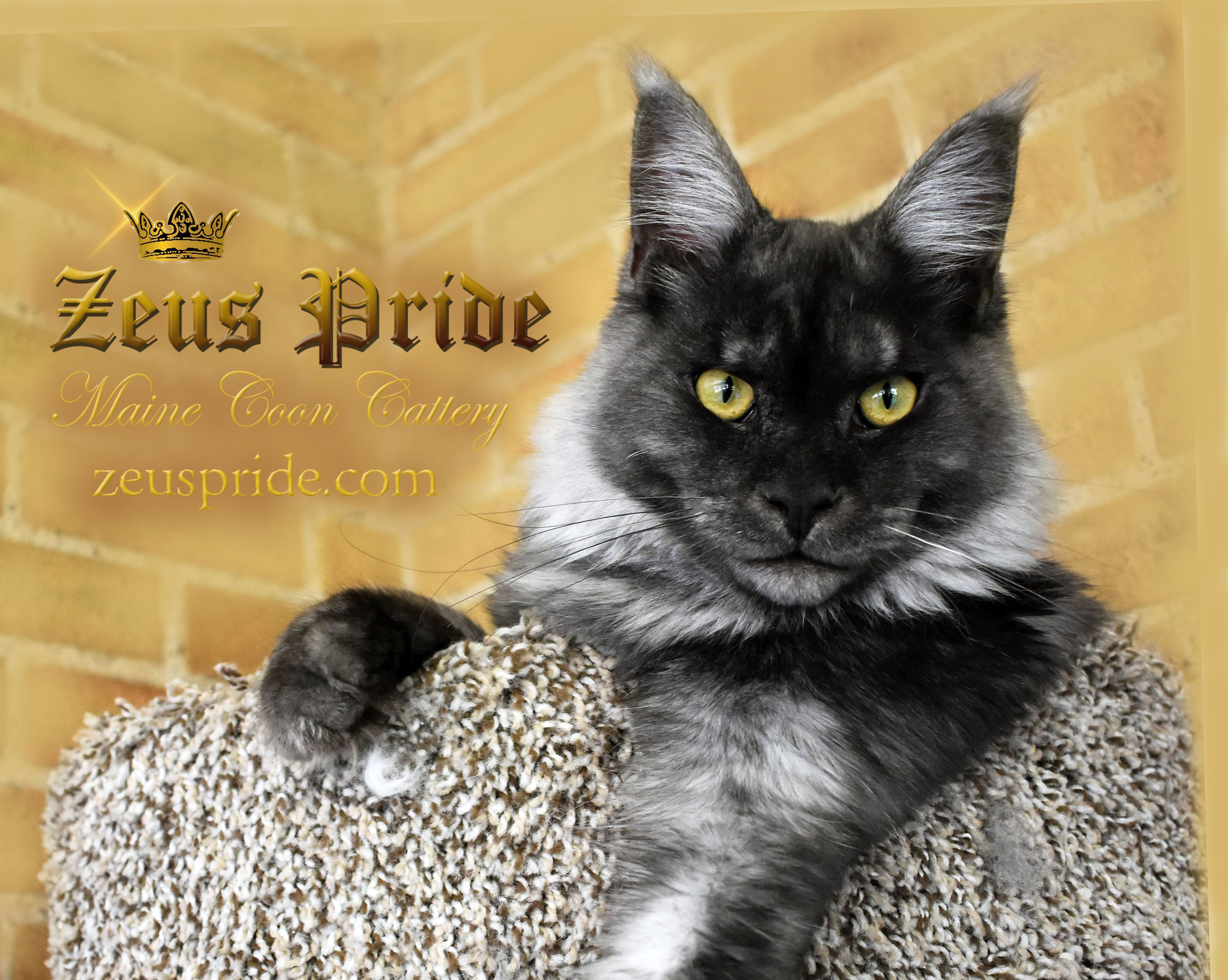 Pin on Maine Coon Kittens and Cats