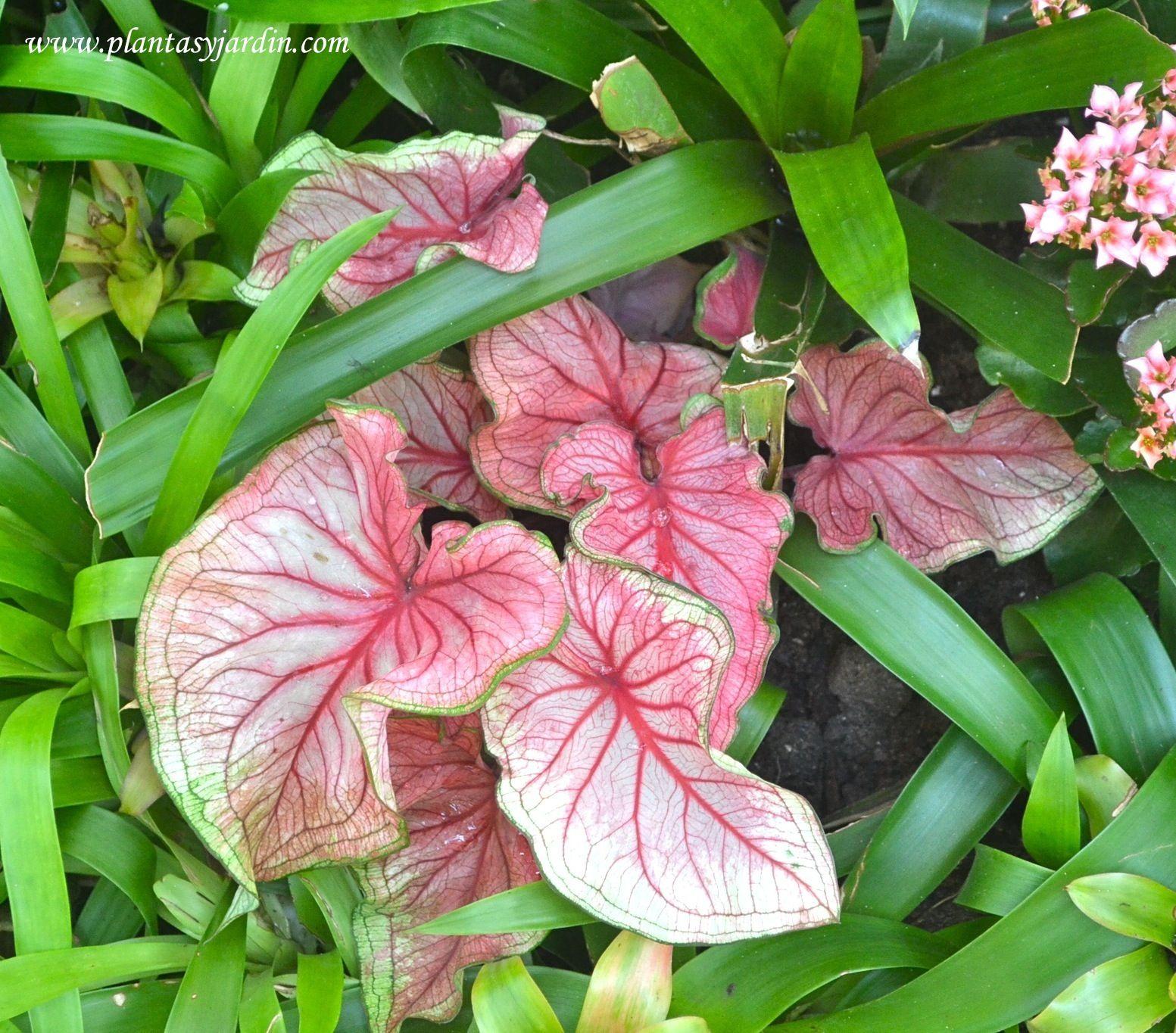 Caladium bicolor muy ornamental por el colorido de sus - Plantas ornamentales de interior ...