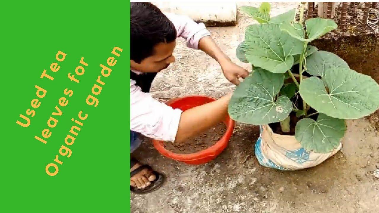 320d9cd4e4ffbecfd6c3d8c94e8d7dfc - Use Of Tea Leaves In Gardening