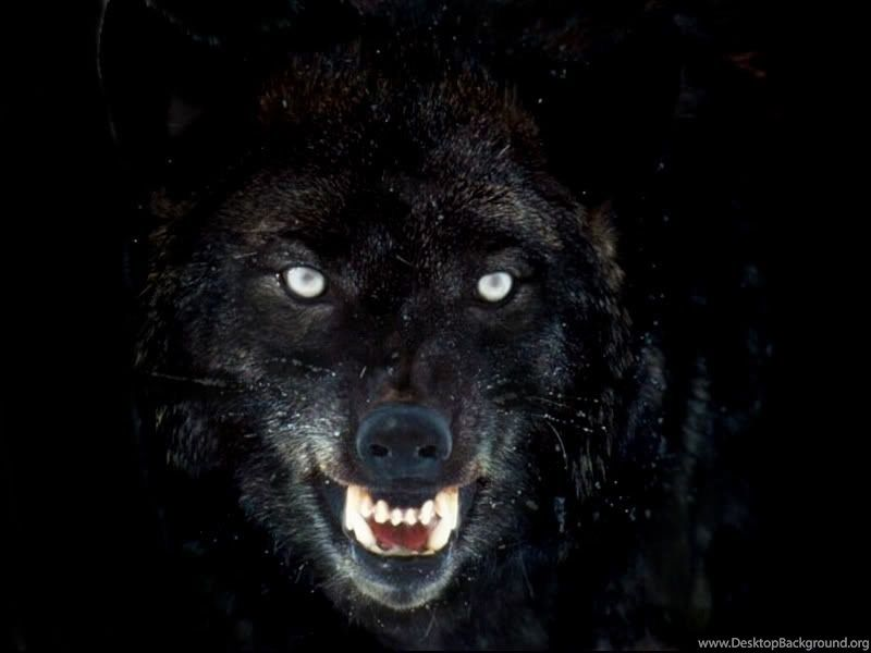 Black Wolf Face Wallpaper Background Wolf Face Black Wolf Wolf Wallpaper