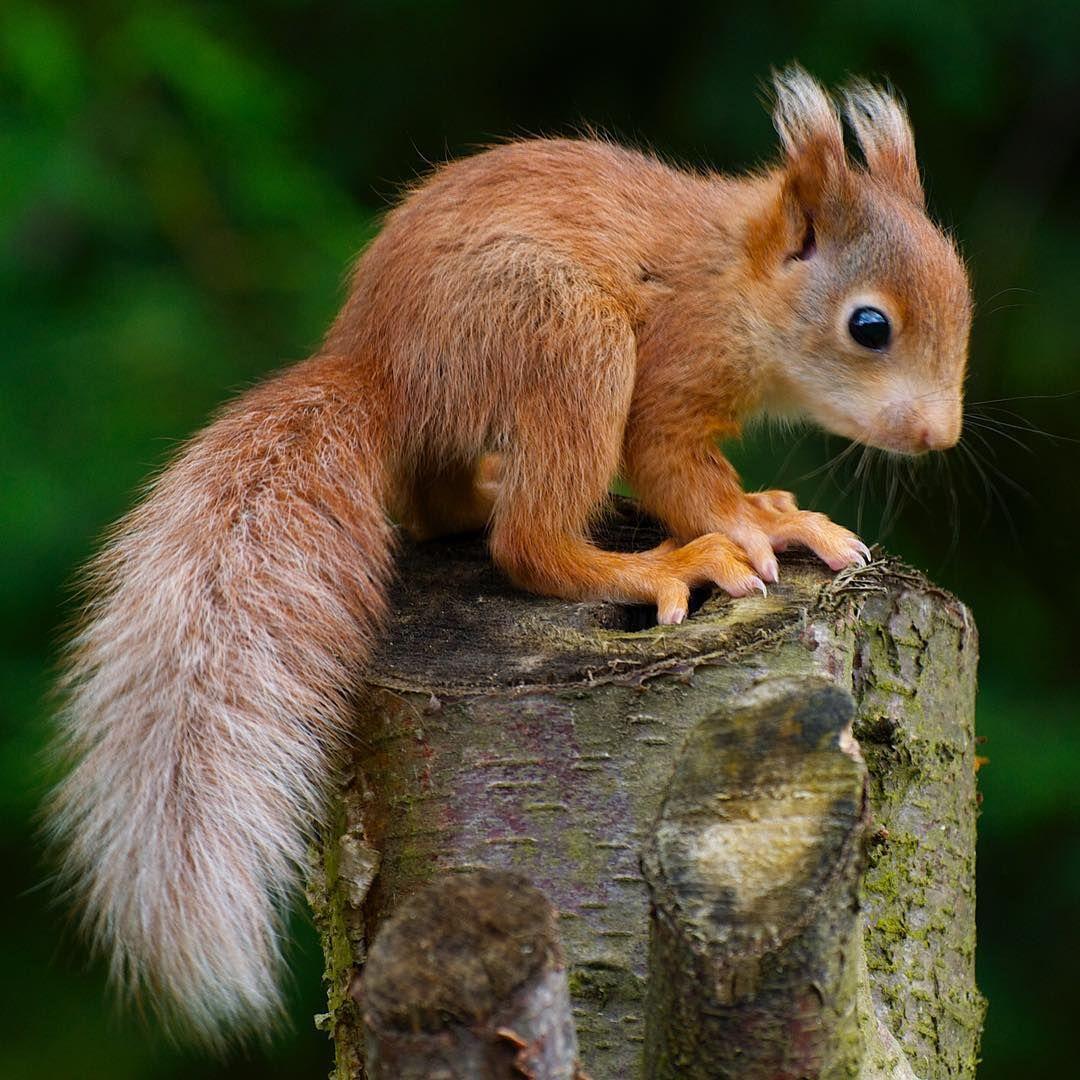 redsquirrel kitten at britishwildlifecentre Cute