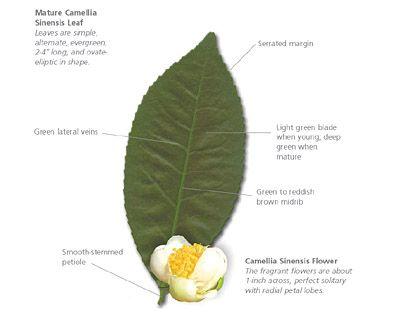 Various Parts Of The Tea Plant Scientific Names Blah Blah Blah For Sourcing Http Tr Green Tea Health Green Tea Benefits Health Green Tea Benefits