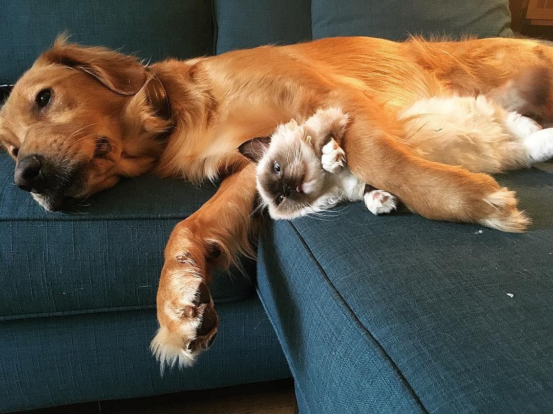 """West Wing on Netflix & chill?"" #goldenretriever #munchkincat #interspecieslove"