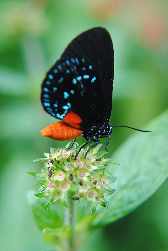 The brilliance of an Atala | by jungle mama