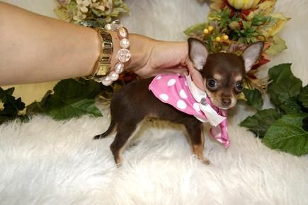 Chihuahuas For Sale Chihuahua Puppies For Sale Chihuahua