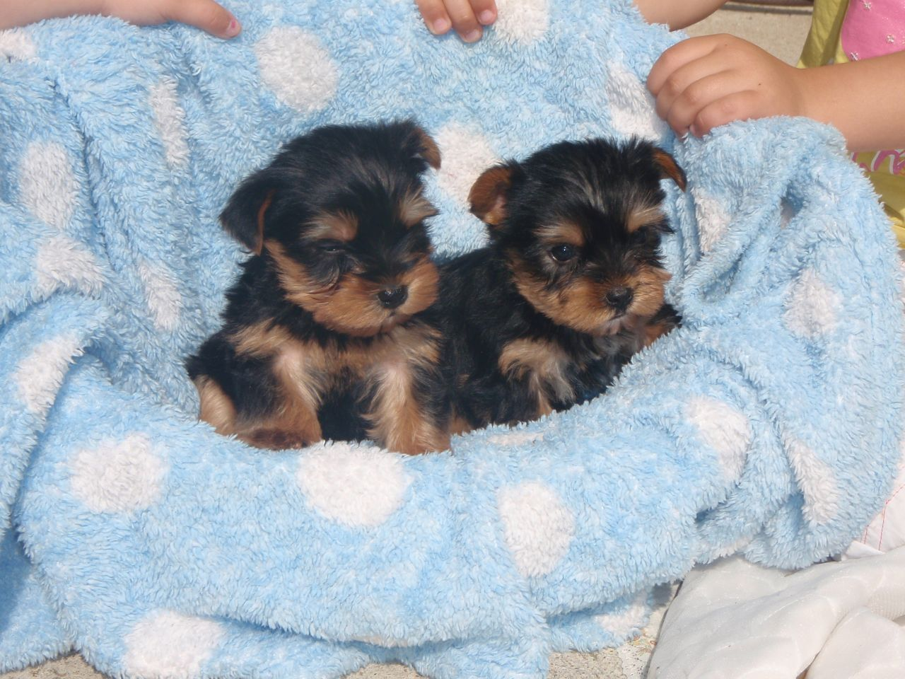 Yorkies Female Teacup Free