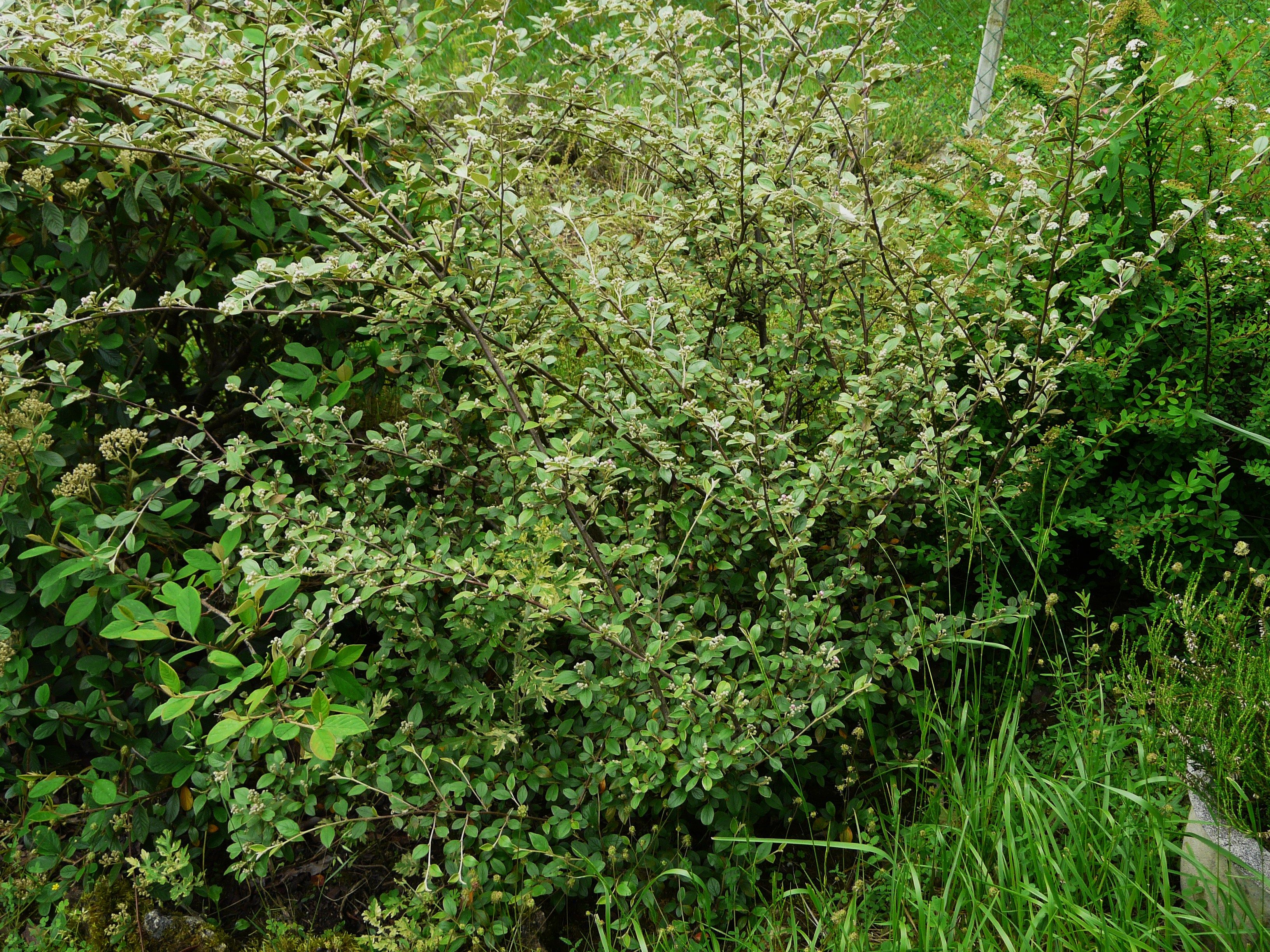 Cotoneaster Franchetii Small White Pink Tinged Flowers In June Are