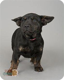 Raleigh Nc Corgi Mix Meet Simone A Dog For Adoption Http Www Adoptapet Com Pet 17956266 Raleigh North Carolina Corgi Mix Kitten Adoption Corgi Mix Pets