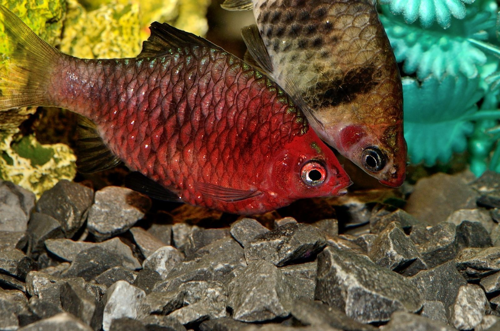Ruby Barb Sourcing Can Be Problematic Look For Captive Bred Black Ruby Fish Breeding Freshwater Aquarium