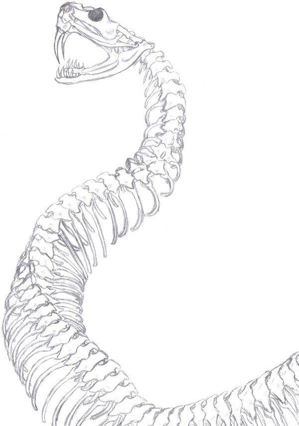 snake skeleton diagram rattlesnake skull by