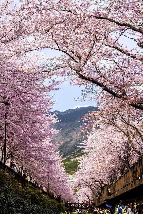 Sky on the cherry blossom door, Jinhae, Korea: