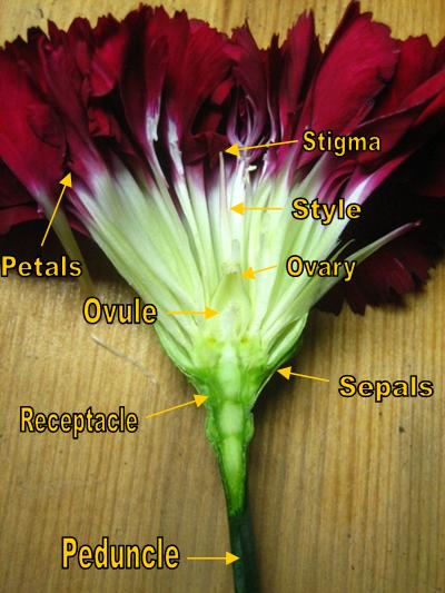 Carnation Cross Section Bio Lab Images Lab Image Carnations