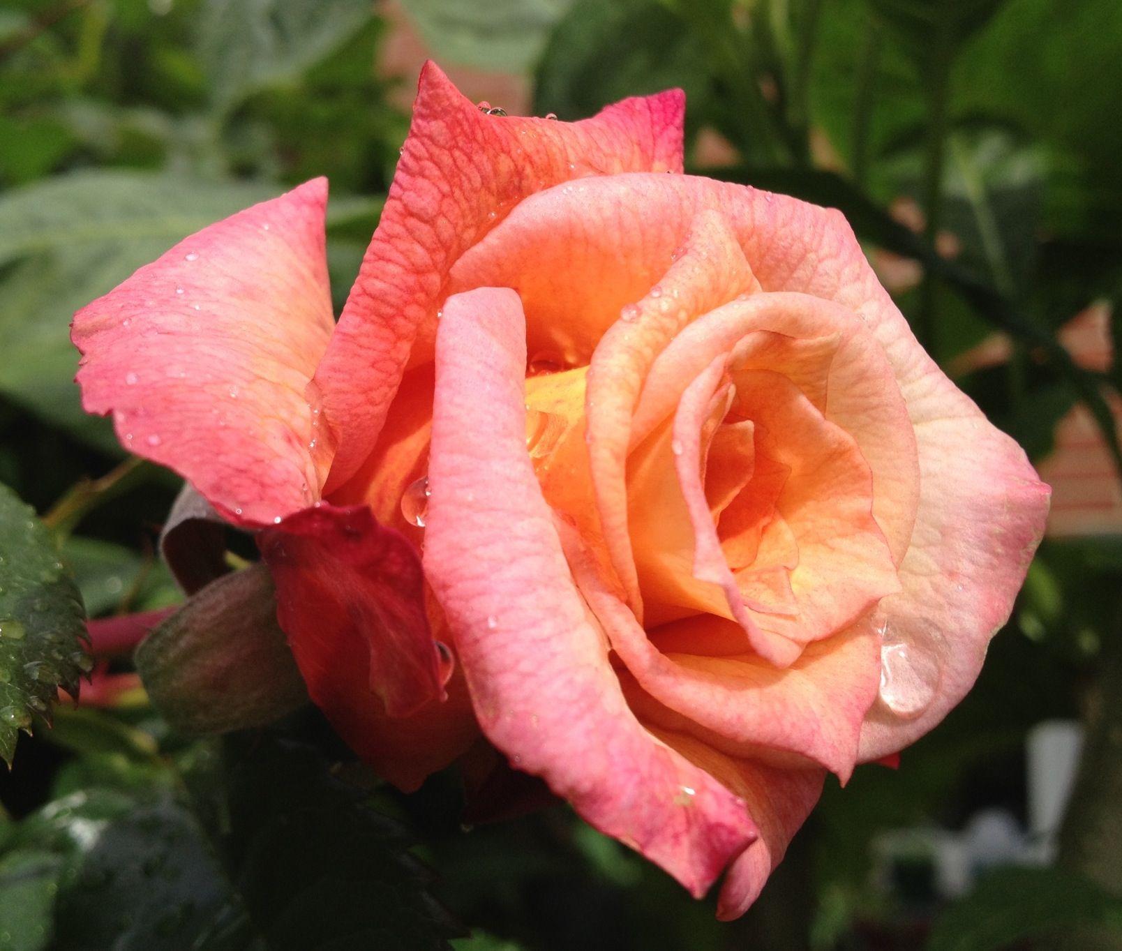 Barock Rose Rose Flowers Plants