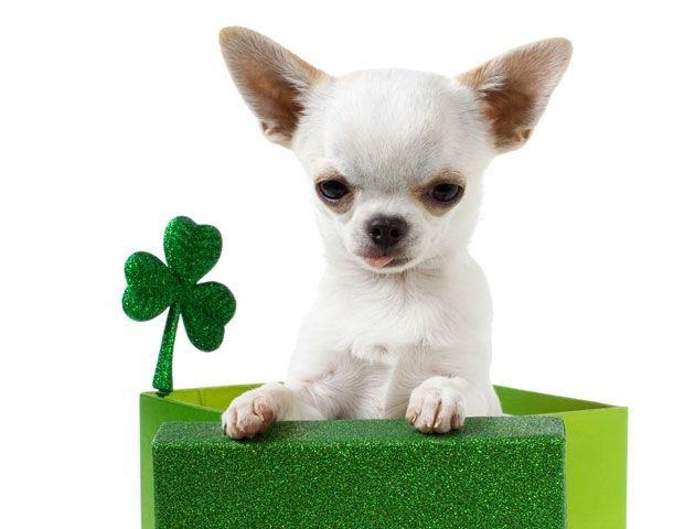 Dogs Love St Patrick S Day Too Stpatricksday Dog Puppy Dogs
