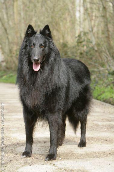 Groenendael Black Belgian Shepherd Click Here To Find Out More Http 1 Googydog Com Belgian Shepherd Dogs Purebred Dogs