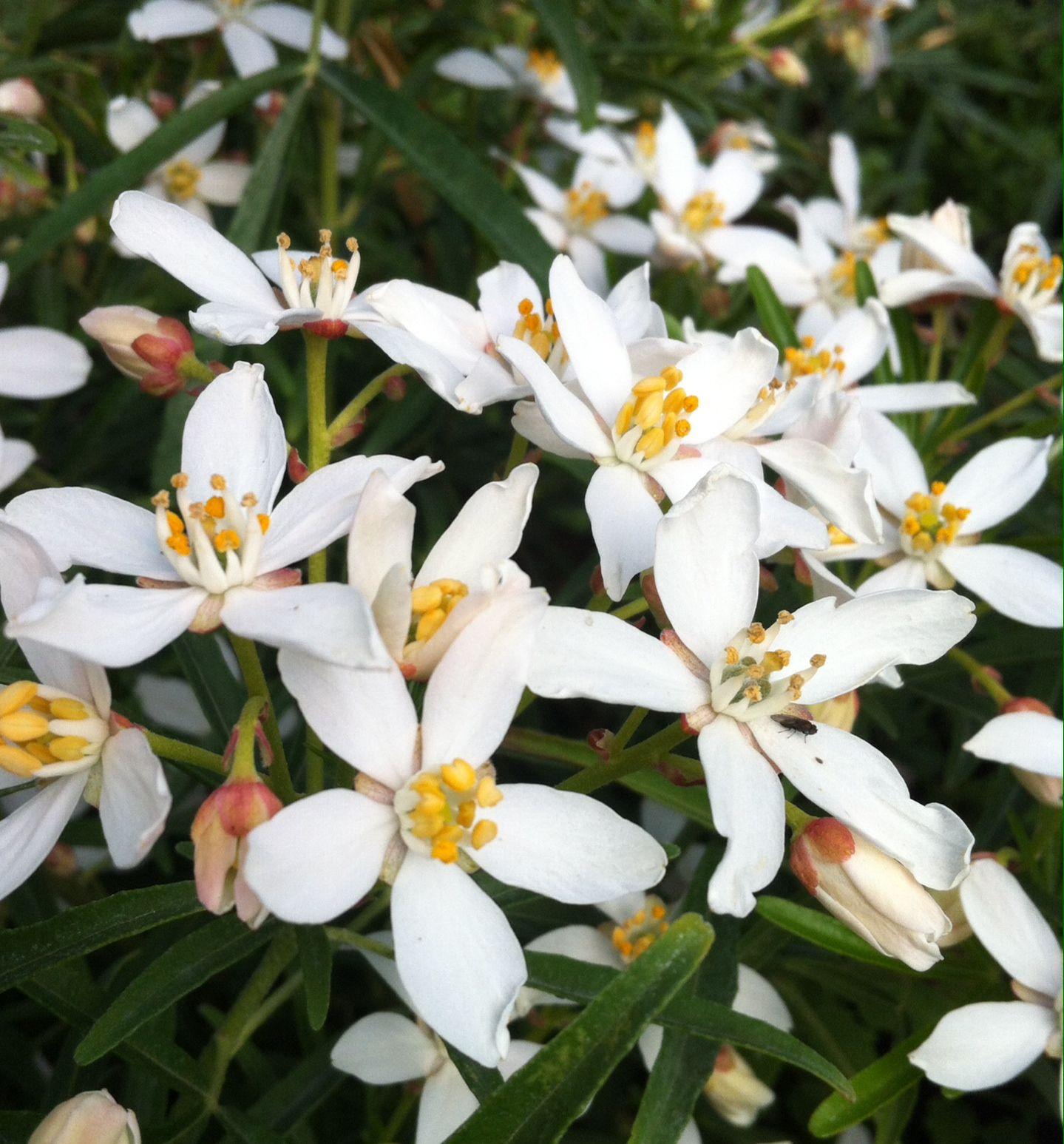 Choisya X Dewitteana Aztec Pearl 3l Pinterest Plants