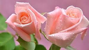 Resultado de imagen para rosas rosadas lindas