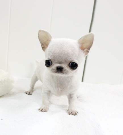 Applehead Chihuahua Puppies For Sale In Louisiana Teacup